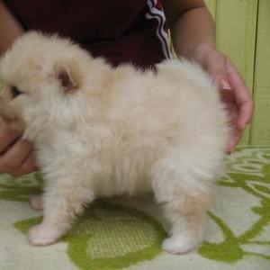 Продам щенка немецкого карликового шпица
